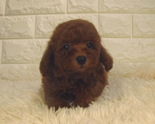 トイプードルの子犬(ID:1249511909)の1枚目の写真/更新日:2018-07-23