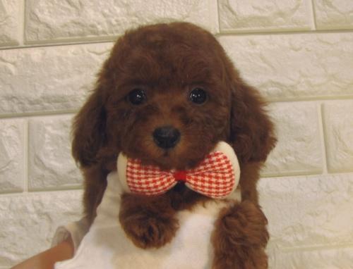 トイプードルの子犬(ID:1249511909)の2枚目の写真/更新日:2018-01-04