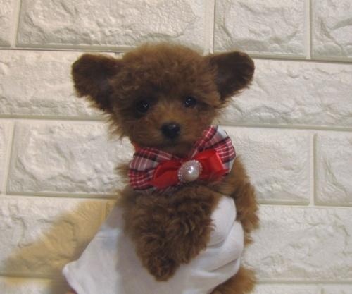 トイプードルの子犬(ID:1249511913)の1枚目の写真/更新日:2019-12-05