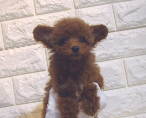トイプードルの子犬(ID:1249511913)の2枚目の写真/更新日:2018-01-23