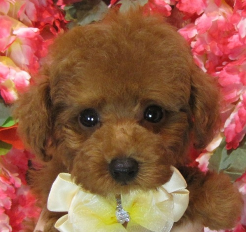 トイプードルの子犬(ID:1249511914)の1枚目の写真/更新日:2018-01-23