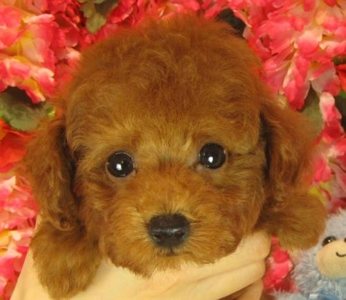 トイプードルの子犬(ID:1249511914)の2枚目の写真/更新日:2018-01-23