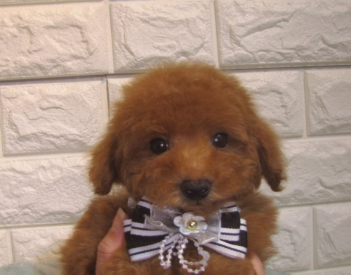 トイプードルの子犬(ID:1249511916)の2枚目の写真/更新日:2018-02-05