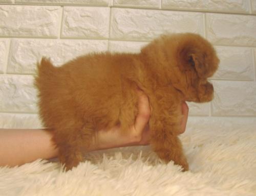トイプードルの子犬(ID:1249511918)の3枚目の写真/更新日:2021-10-04