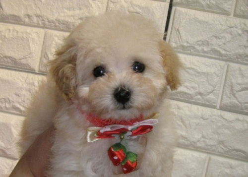 トイプードルの子犬(ID:1249511920)の1枚目の写真/更新日:2018-02-05