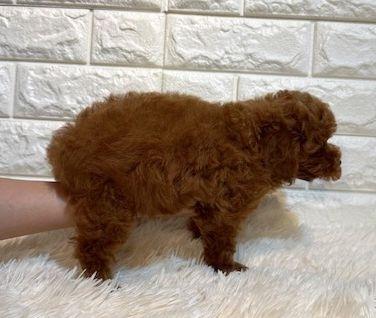 トイプードルの子犬(ID:1249511922)の3枚目の写真/更新日:2021-04-19