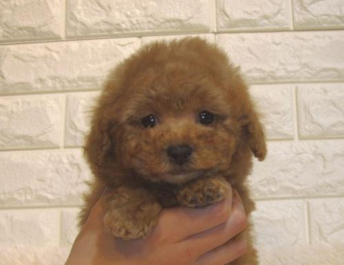 トイプードルの子犬(ID:1249511923)の1枚目の写真/更新日:2018-11-14