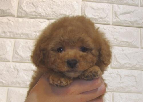 トイプードルの子犬(ID:1249511923)の2枚目の写真/更新日:2018-02-11