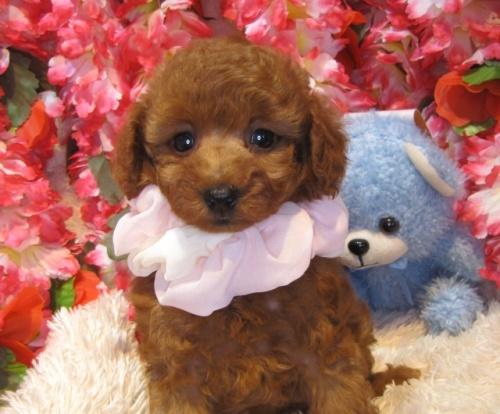 トイプードルの子犬(ID:1249511924)の1枚目の写真/更新日:2018-02-11