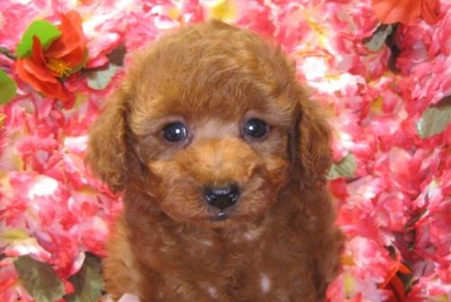 トイプードルの子犬(ID:1249511924)の2枚目の写真/更新日:2018-02-11