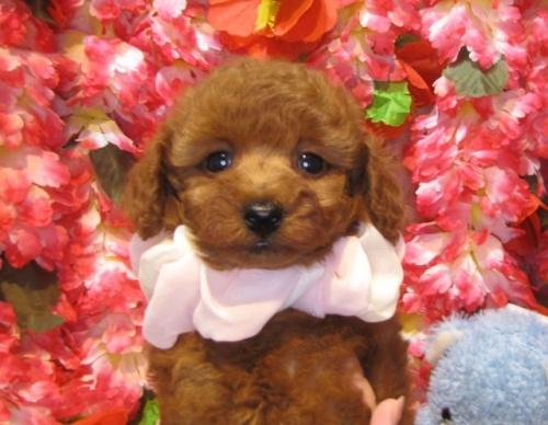 トイプードルの子犬(ID:1249511924)の3枚目の写真/更新日:2018-02-11