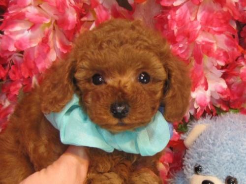 トイプードルの子犬(ID:1249511925)の1枚目の写真/更新日:2018-02-11