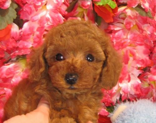 トイプードルの子犬(ID:1249511925)の3枚目の写真/更新日:2018-02-11