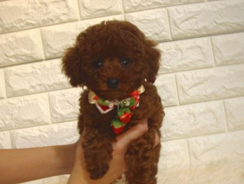 トイプードルの子犬(ID:1249511926)の1枚目の写真/更新日:2020-08-31