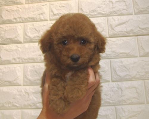 トイプードルの子犬(ID:1249511927)の2枚目の写真/更新日:2020-03-04