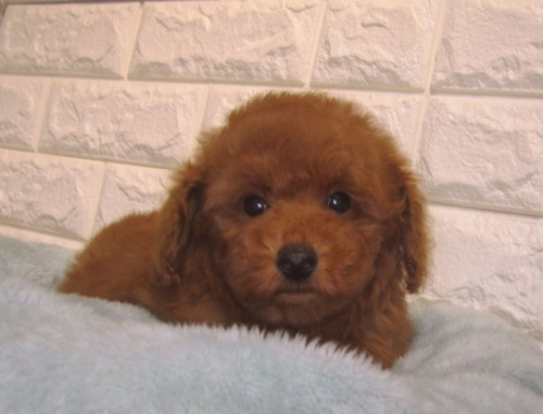 トイプードルの子犬(ID:1249511928)の1枚目の写真/更新日:2018-11-22