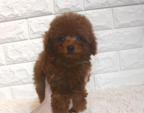 トイプードルの子犬(ID:1249511928)の2枚目の写真/更新日:2018-02-11