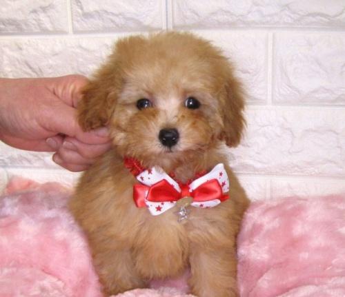 トイプードルの子犬(ID:1249511929)の2枚目の写真/更新日:2020-02-25