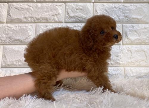 トイプードルの子犬(ID:1249511930)の3枚目の写真/更新日:2018-02-11