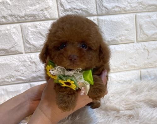 トイプードルの子犬(ID:1249511932)の1枚目の写真/更新日:2021-08-03