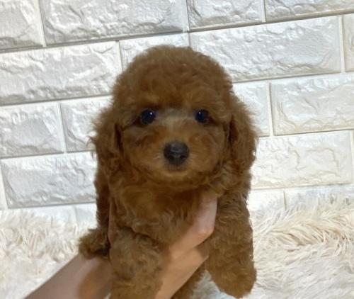 トイプードルの子犬(ID:1249511934)の2枚目の写真/更新日:2018-12-06