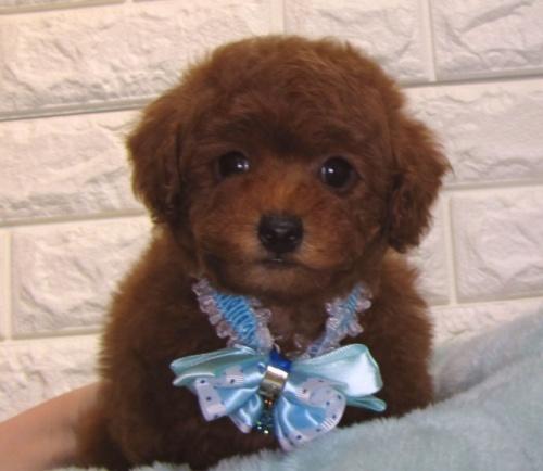 トイプードルの子犬(ID:1249511935)の1枚目の写真/更新日:2018-03-11