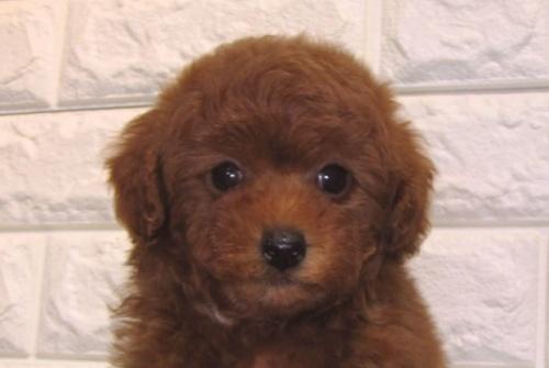 トイプードルの子犬(ID:1249511935)の2枚目の写真/更新日:2021-07-09