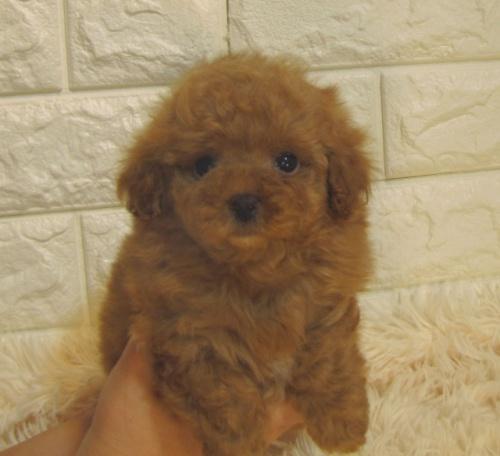 トイプードルの子犬(ID:1249511936)の2枚目の写真/更新日:2018-12-03