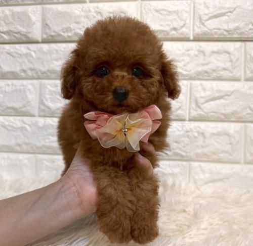 トイプードルの子犬(ID:1249511937)の1枚目の写真/更新日:2018-05-04