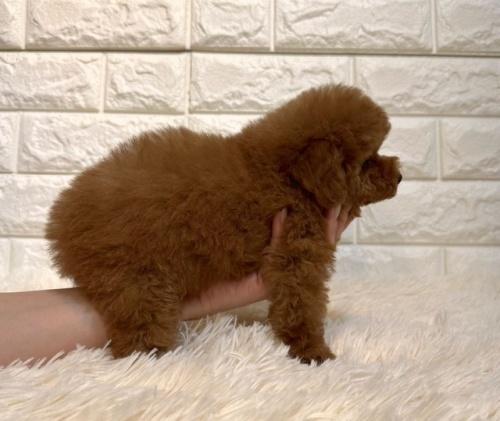 トイプードルの子犬(ID:1249511937)の3枚目の写真/更新日:2021-09-19