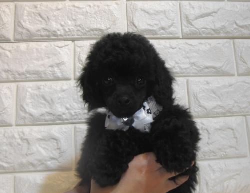 トイプードルの子犬(ID:1249511939)の1枚目の写真/更新日:2018-05-04