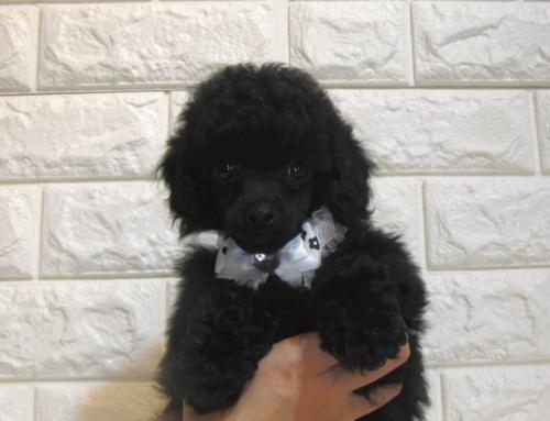 トイプードルの子犬(ID:1249511939)の2枚目の写真/更新日:2018-05-04