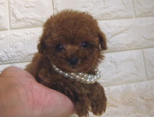トイプードルの子犬(ID:1249511942)の1枚目の写真/更新日:2018-12-17