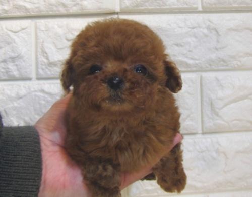 トイプードルの子犬(ID:1249511942)の2枚目の写真/更新日:2018-12-17
