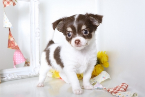 チワワ(ロング)の子犬(ID:1250011078)の1枚目の写真/更新日:2018-07-09