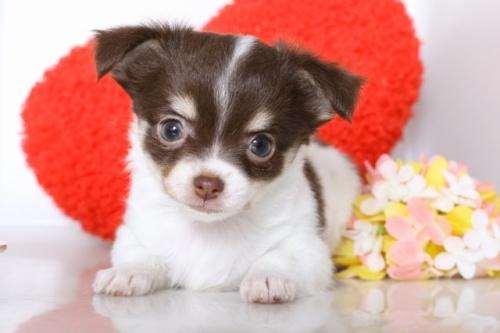 チワワ(ロング)の子犬(ID:1250011078)の2枚目の写真/更新日:2018-07-09