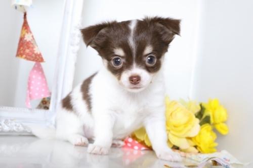 チワワ(ロング)の子犬(ID:1250011078)の3枚目の写真/更新日:2018-07-09