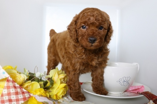 トイプードルの子犬(ID:1250011084)の1枚目の写真/更新日:2018-07-09