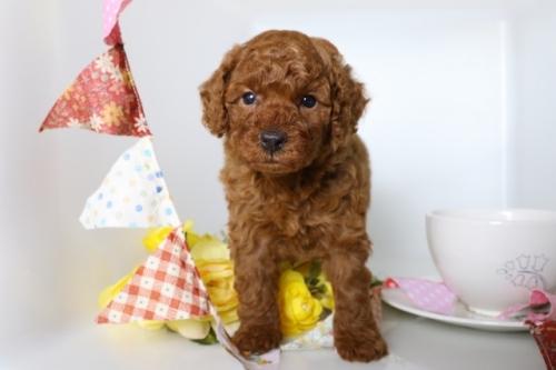 トイプードルの子犬(ID:1250011084)の2枚目の写真/更新日:2018-07-09