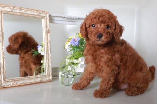 トイプードルの子犬(ID:1250011086)の1枚目の写真/更新日:2018-10-08