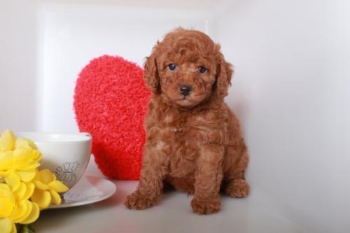 トイプードルの子犬(ID:1250011086)の2枚目の写真/更新日:2018-10-08