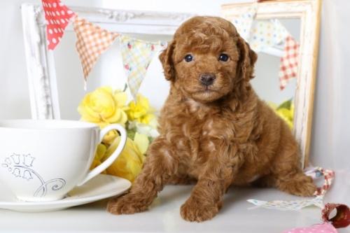 トイプードルの子犬(ID:1250011087)の1枚目の写真/更新日:2018-07-09