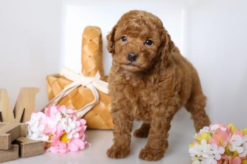 トイプードルの子犬(ID:1250011087)の2枚目の写真/更新日:2018-07-09