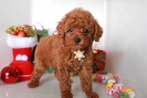 トイプードルの子犬(ID:1250011088)の1枚目の写真/更新日:2018-11-26