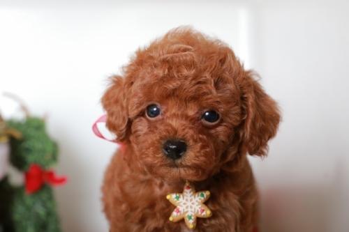 トイプードルの子犬(ID:1250011088)の2枚目の写真/更新日:2018-11-26