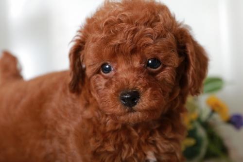 トイプードルの子犬(ID:1250011088)の3枚目の写真/更新日:2018-11-26