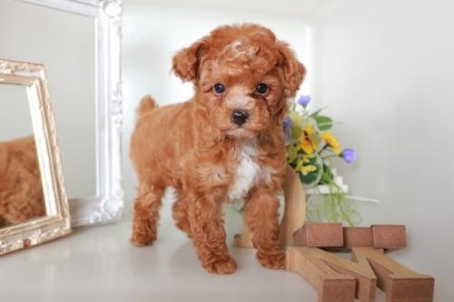 トイプードルの子犬(ID:1250011089)の1枚目の写真/更新日:2018-11-26