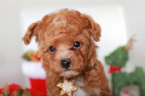 トイプードルの子犬(ID:1250011089)の3枚目の写真/更新日:2018-11-26