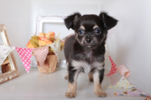 チワワ(ロング)の子犬(ID:1250011092)の1枚目の写真/更新日:2018-10-08