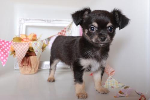 チワワ(ロング)の子犬(ID:1250011092)の2枚目の写真/更新日:2018-10-08